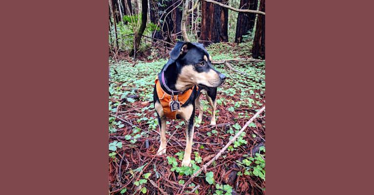 Photo of Kira Bear, an American Pit Bull Terrier, Australian Shepherd, German Shepherd Dog, Australian Cattle Dog, Great Pyrenees, and Mixed mix in King City, CA, USA