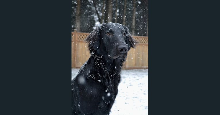 Photo of Ace, a Flat-Coated Retriever  in Campbell River, British Columbia, Canada