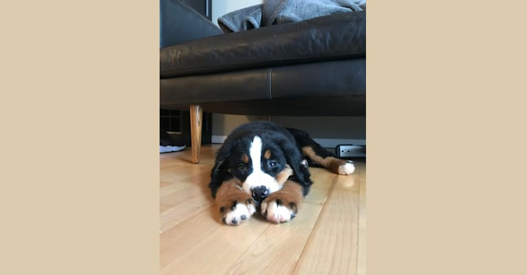 Photo of Teddy, a Bernese Mountain Dog  in Ohio, USA