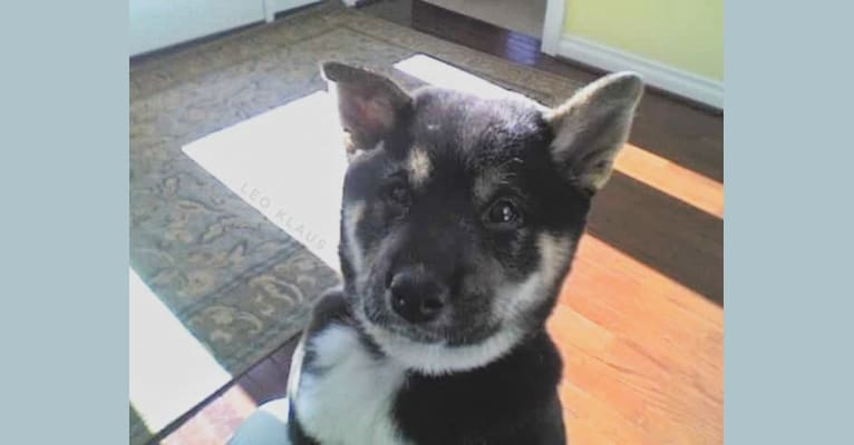 Photo of Kiba, a Shiba Inu  in South Lyon, Michigan, USA