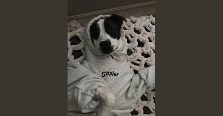 Photo of Sonny, a Boxer, American Pit Bull Terrier, Australian Cattle Dog, and Mixed mix in Oklahoma City, Oklahoma, USA