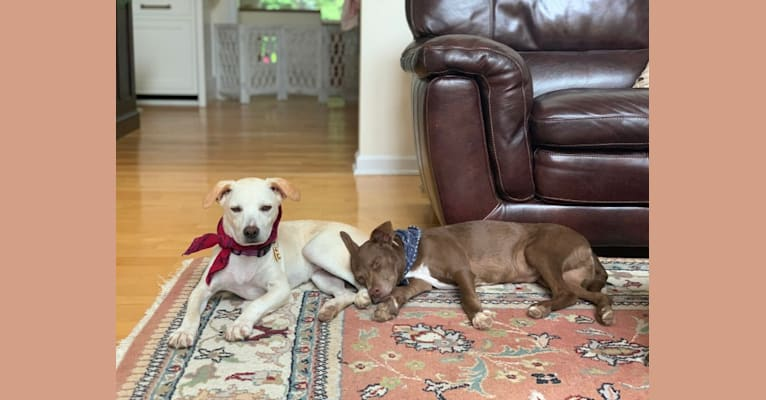 Photo of Wilson, a Russell-type Terrier, Chihuahua, Chinese Shar-Pei, and Mixed mix