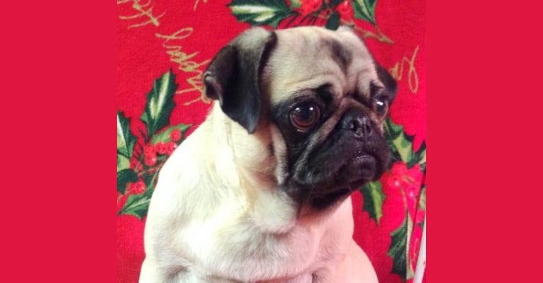 Photo of Crouton, a Pug