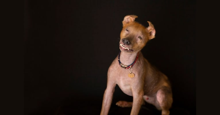 Photo of Chupey, an American Pit Bull Terrier and Rottweiler mix in Stockton, Georgia, USA