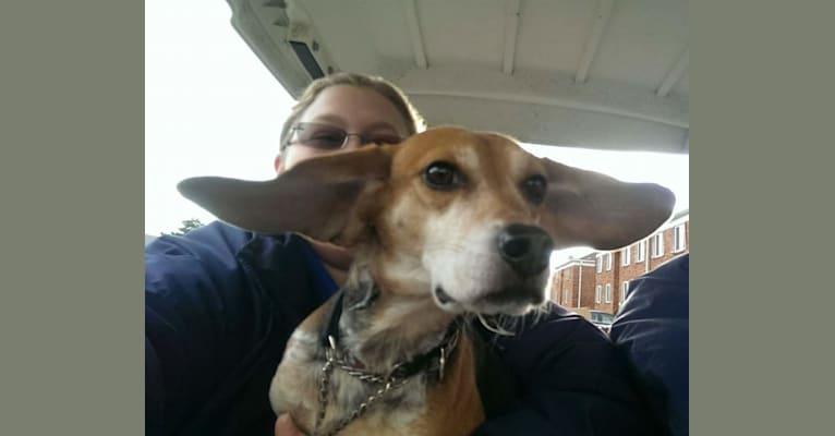 Photo of Travis, a Beagle  in Belleville, Michigan, USA