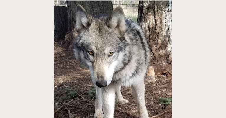 Photo of Tiberius, a   in Oregon, USA