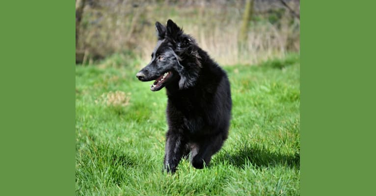 Photo of Tempest, a German Shepherd Dog