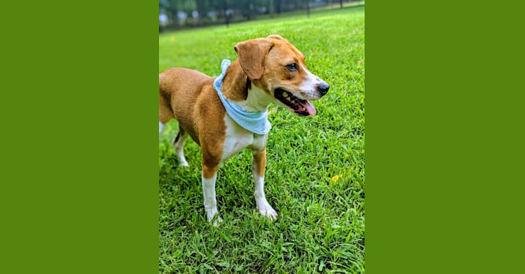 Photo of Boone, an American Pit Bull Terrier, Rat Terrier, and Australian Cattle Dog mix in Rockingham, North Carolina, USA