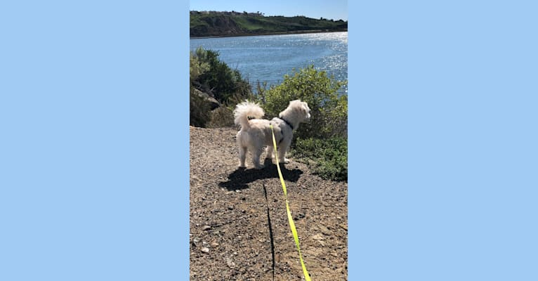 Photo of Tiffy, a Poodle (Small), Miniature Schnauzer, Cocker Spaniel, Pomeranian, and Mixed mix in Newport Beach, California, USA