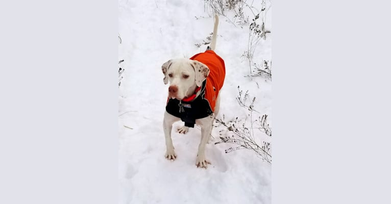 Photo of Sam, a Pointer  in Kentucky, USA