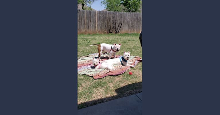 Photo of Rhaegar, an American Bully  in Oklahoma City, Oklahoma, USA