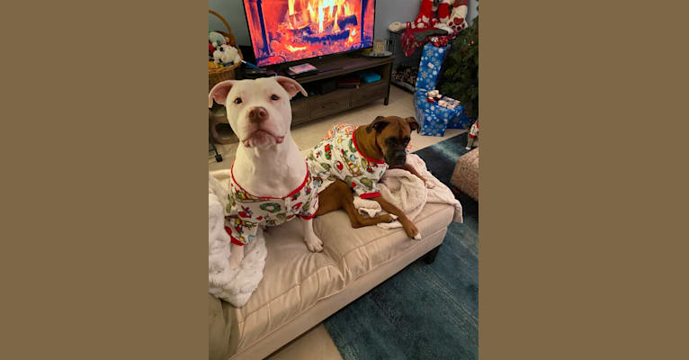 Photo of Lincoln, an American Bulldog, American Pit Bull Terrier, and American Staffordshire Terrier mix