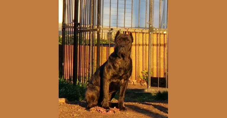 Photo of Lily, a Cane Corso  in Indiana, USA
