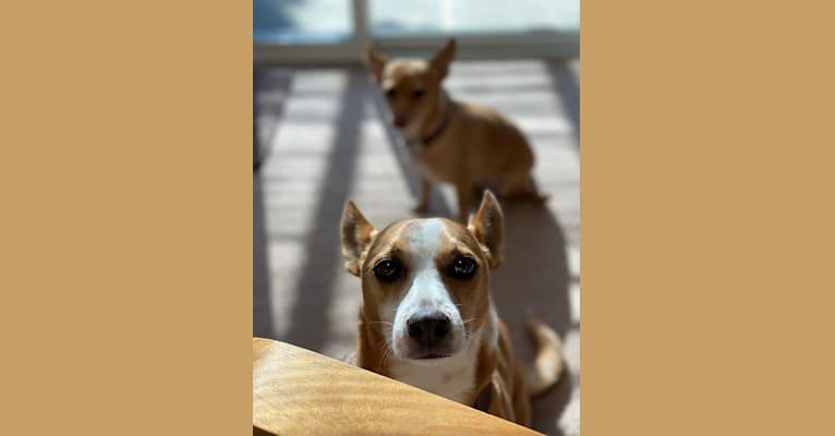 Photo of Watson, a Chihuahua, Poodle (Small), Pomeranian, and Mixed mix in Santa Clara, California, USA