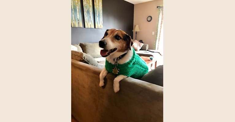 Photo of Rosco, a Russell-type Terrier  in Salem, Massachusetts, USA
