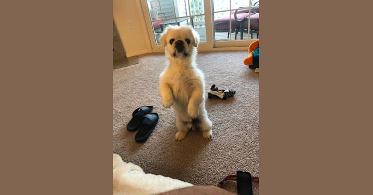 Photo of Sammy, a Pekingese