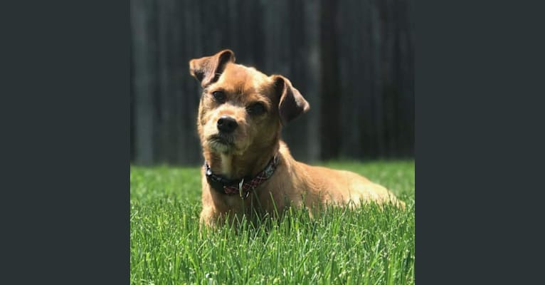 Photo of Brodie, a Miniature Pinscher and Shih Tzu mix in Denver, Colorado, USA