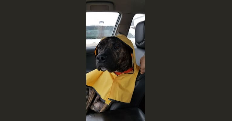 Photo of Dozer, a Cane Corso, Doberman Pinscher, and American Staffordshire Terrier mix in Kentucky, USA