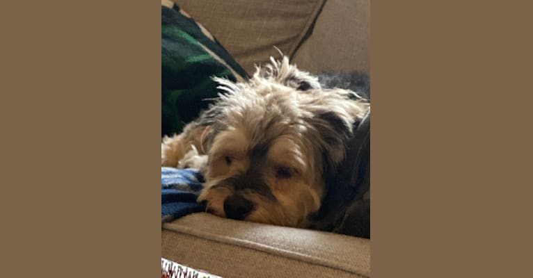 Photo of Dante, a Yorkipoo (3.3% unresolved) in Kansas City, KS, USA