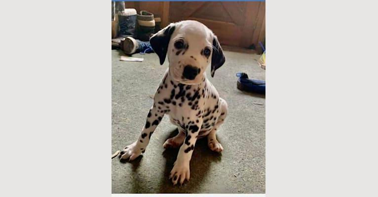 Photo of Oscar, a Dalmatian  in Smiths Falls, ON, Canada