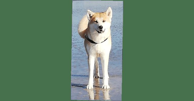Photo of Sita : Akita Inu, an Akita