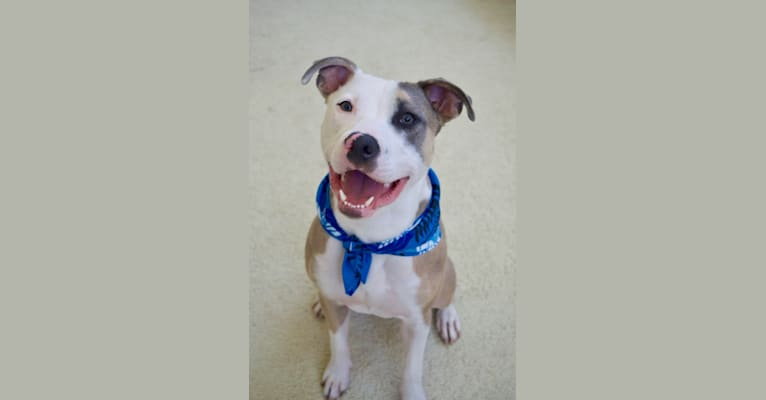 Photo of Nalu, an American Pit Bull Terrier and American Staffordshire Terrier mix in Los Angeles, California, USA