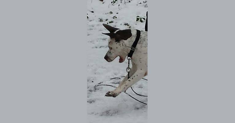 Photo of Atticus, an American Pit Bull Terrier, American Staffordshire Terrier, and Mixed mix in Fairfax, Virginia, USA