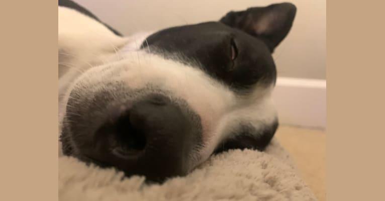 Photo of Cobee, an American Pit Bull Terrier, Australian Shepherd, Australian Cattle Dog, American Staffordshire Terrier, and Siberian Husky mix in San Bernardino, California, USA