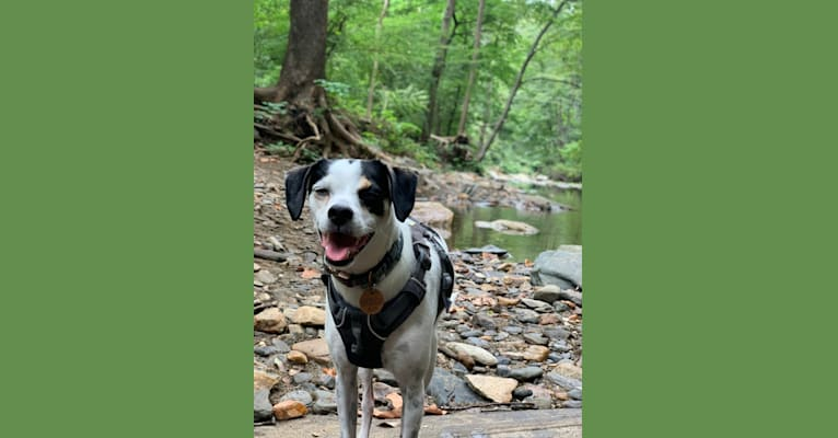 Photo of Santino, a German Shorthaired Pointer, Rat Terrier, Poodle (Small), Pomeranian, Pekingese, and English Shepherd mix in Virginia, USA