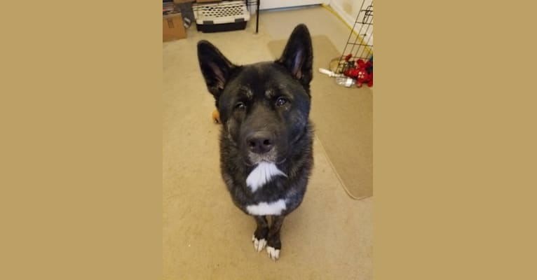Photo of Drogo, an Akita  in Hattiesburg, MS, USA