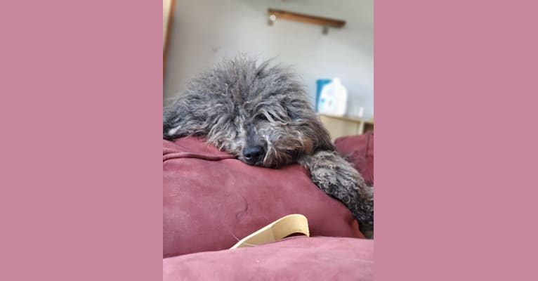 Photo of Chai, a Puli  in Webberville, MI, USA