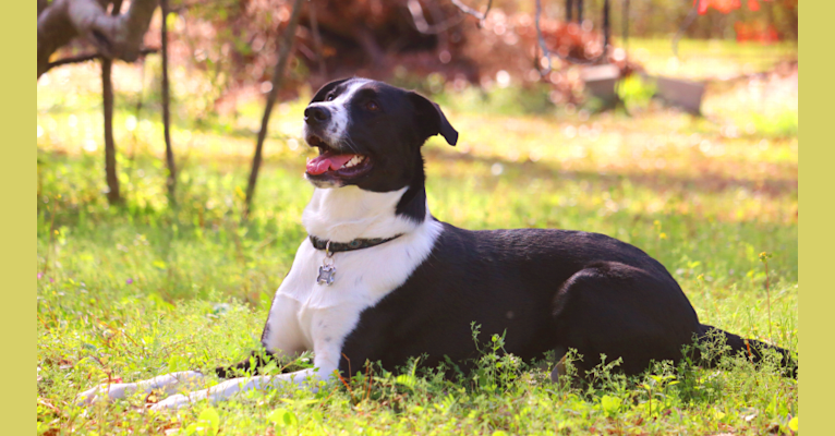 Photo of Leviathan, a Labrador Retriever, Siberian Husky, American Pit Bull Terrier, Australian Cattle Dog, and Mixed mix in Bulloch County, GA, USA