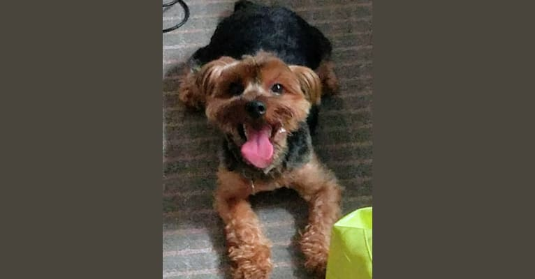 Photo of Simba, a Yorkshire Terrier  in Dominican Republic
