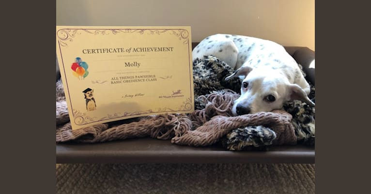 Photo of Molly, a Boston Terrier, American Pit Bull Terrier, Beagle, and Mixed mix in Virginia, USA