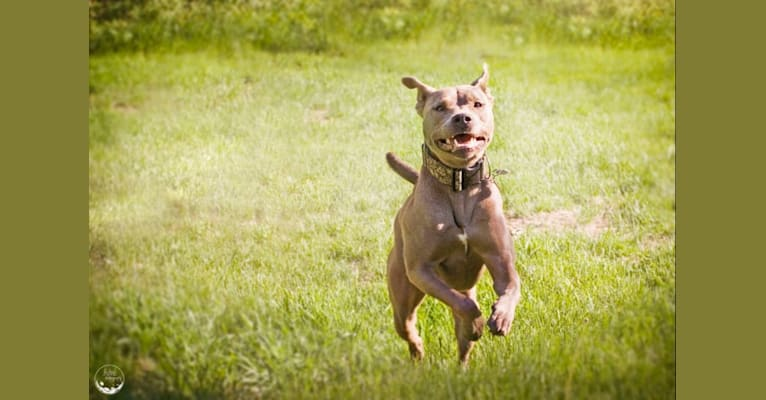 Photo of Gaea, an American Pit Bull Terrier, American Staffordshire Terrier, and German Shepherd Dog mix in Georgia, USA