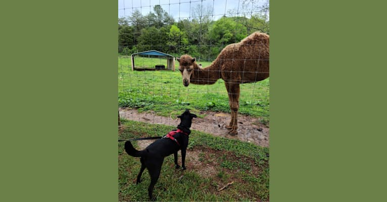 Photo of Hamish, a Labrador Retriever, Australian Cattle Dog, American Bully, and Mixed mix in West Virginia, USA
