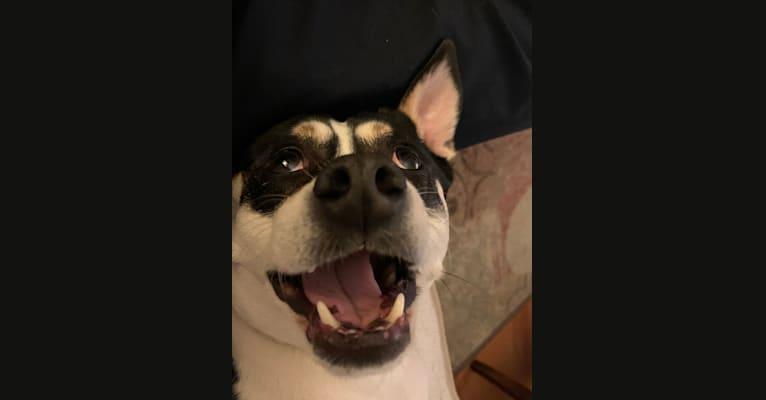 Photo of Toby, an American Pit Bull Terrier, Miniature/MAS-type Australian Shepherd, Miniature Pinscher, Chihuahua, and Labrador Retriever mix in Webster Groves, Missouri, USA