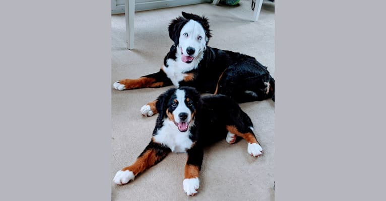 Photo of Blue, a Bernese Mountain Dog  in New Haven, IN, USA