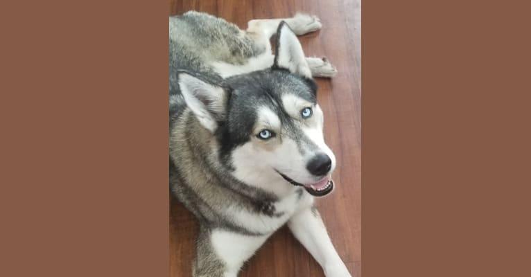 Photo of Karma, a Siberian Husky