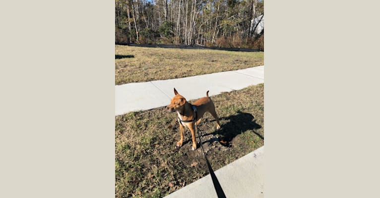 Photo of Willa, an American Pit Bull Terrier, Labrador Retriever, Miniature Pinscher, and American Staffordshire Terrier mix in Manning, South Carolina, USA