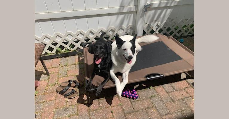 Photo of Scout, a German Shepherd Dog, Norwegian Elkhound, and American Eskimo Dog mix in Columbus, Ohio, USA