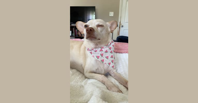 Photo of Duck, a Chihuahua, Rat Terrier, and American Pit Bull Terrier mix in Alabama, USA