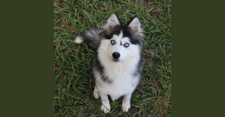 Photo of Baylene, a Siberian Husky, Pomeranian, and American Eskimo Dog mix in Lexington, KY, USA