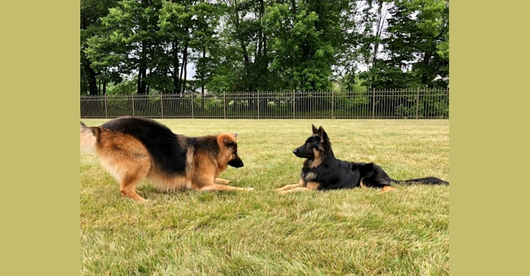 Photo of Kaila, a German Shepherd Dog  in USA