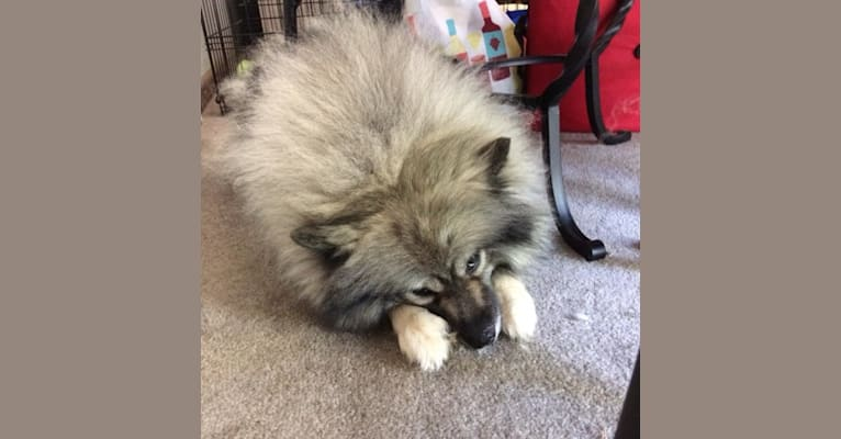 Photo of Keisha, a Keeshond  in Harpursville, New York, USA
