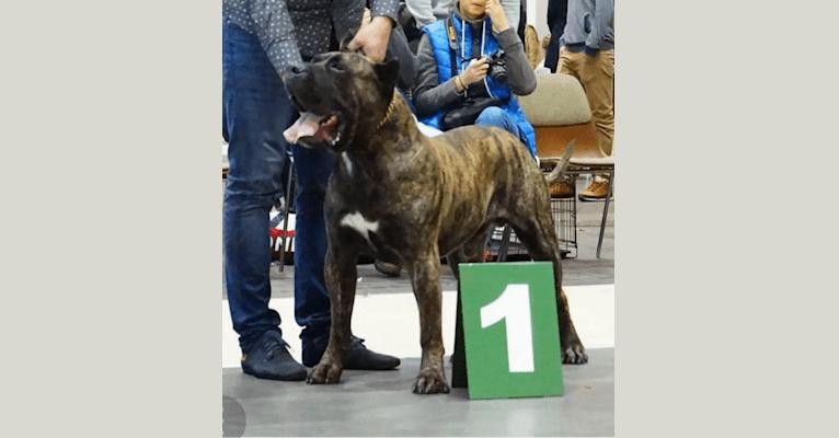 Photo of Hiro Nuestra Sangre, a Perro de Presa Canario  in Poland
