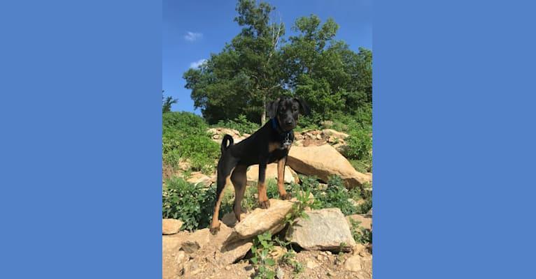 Photo of Ridley, a Chihuahua, Miniature/MAS-type Australian Shepherd, Chow Chow, and Mixed mix in Lenexa, Kansas, USA