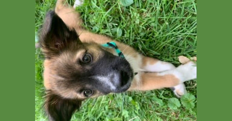 Photo of Carly Simon, a Boston Terrier, Boxer, Siberian Husky, Great Pyrenees, and Mixed mix in Indiana, USA
