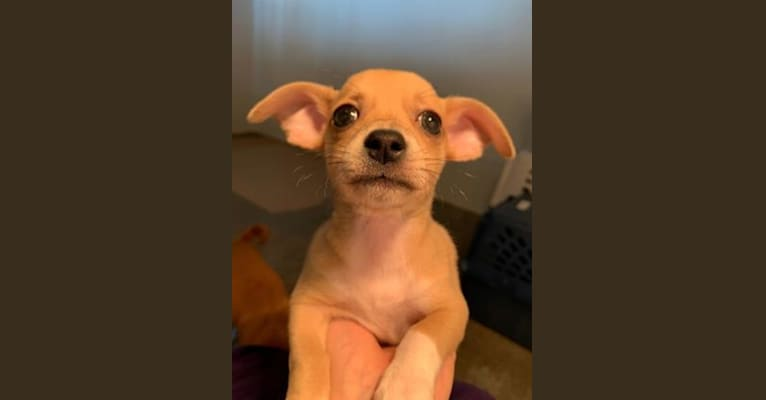 Photo of Oliver, a Chihuahua, Poodle (Small), and Mixed mix in Eugene, OR, USA