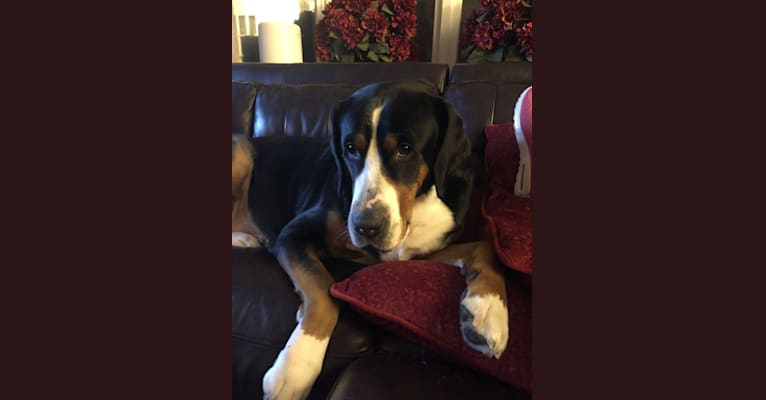 Photo of Vienna, a Greater Swiss Mountain Dog  in Long Island, New York, USA